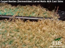 Do Carpet Beetle Bite by Carpet Beetle Insecticide Carpet Vidalondon