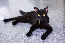 bombay cats the bombay cat cat breeds encyclopedia