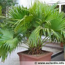 comment rempoter un palmier oréane