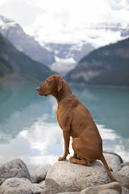 Vizsla Dog Breed Shedding by Watching The View With My Future Dog A Vizsla Doggies