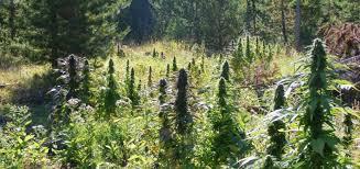 pourquoi cultiver des graines de cannabis auto floraison le guide