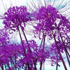 shop free shipping flower bulbs purple lycoris blubs 2pcs