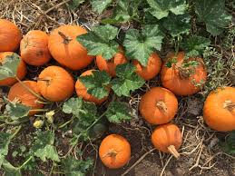 Pumpkin Patch Pasadena Area by Tanaka Farms Pumpkin Patch Oc Mom Blog