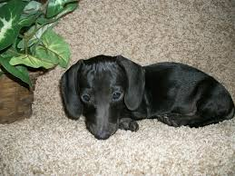 Do Miniature Pinschers Shed A Lot by Miniature Dachshund Facts Info Temperament Puppies Pictures