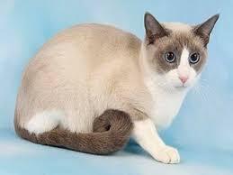 snowshoe cat snowshoe cat