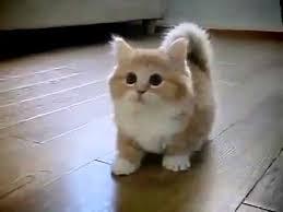 munchkins cats munchkin cat with