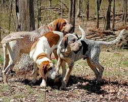 German Shorthaired Pointer Shed Hunter by American English Coonhound Dog Breed Information Pictures