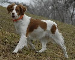 92 best world s best dog images on pinterest brittany spaniel