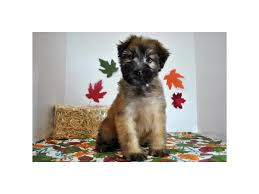Do Wheaten Terrier Puppies Shed by Soft Coated Wheaten Terrier Puppies Petland Batavia Il