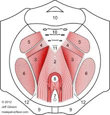Pelvic Floor Muscle Spasm by Male Pelvic Floor Muscles The Pelvic Diaphragm Body Mechanics