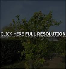 Best Fruit Trees For Ontario Backyard - Is Strawberry A Fruit Garden Design Trees For Traing Adds Beauty And Function Inside 90 Best Fruit Images On Pinterest Trees Backyards Best 25 Fast Growing Fruit Ideas Tree Wonderful Large Backyard Plum Tree Pics Orchards Benicia Community Gardens With With Cclusion How To Grow Which Apple For Small Garden 35 Citrus Homegrown Stone Sunset Mobile Enjoy The Full Of Flowers Alamedasan