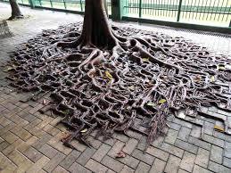 la résilience les racines étonnantes de ces arbres ont trouvé