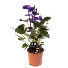 anthurium purple anthurium blue fleur suprême plantes