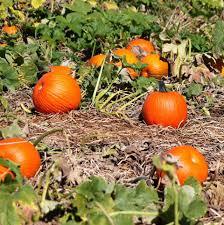 Heather Farms Pumpkin Patch by Dark Leaf Farms Home Facebook