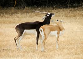 When Do Whitetails Shed Their Antlers by Antlers Vs Horns Words On Wildlife