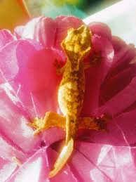 Crested Gecko Shedding Info by Stunning Crested Gecko Hatchlings In Brandon Suffolk Gumtree