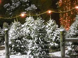Frasier Christmas Tree by Christmas Trees