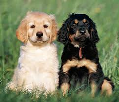 Non Shedding Large Dogs by 14 Low Shedding Large Family Dogs Fila Brasileiro