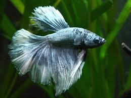les poissons pour commencer un aquarium fishipedia