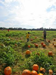 Pumpkin Patch Near Pensacola Fl by Corn Maze And Pumpkin Picking Our Annual Visit To Holland Farms