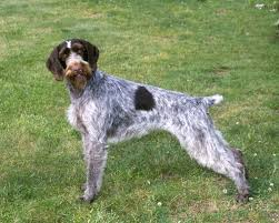 Do Wirehaired Vizslas Shed by Discussion Weekend Breed German Wirehaired Pointer Dogs