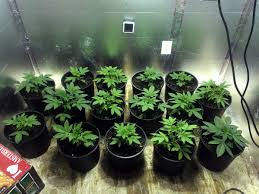 1000 Watt Hps Lamp Height by How Many Plants To Maximize Grow Space Grow Weed Easy