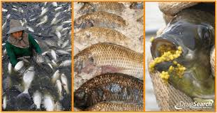 4 Good Reasons Why You Should NEVER Eat Tilapia Again EDrugSearch