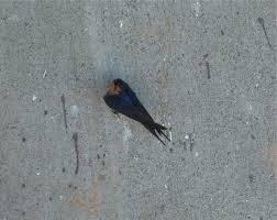 Barn Swallow (Hirundo Rustica) A Barn Swallow Resting On A Cement ... Lil Bird By Foxeaf Golondrina Swallow Hirondelle Pinterest Birds Swallows Including Barn And Tree Behavior In The Yard Networks On Wing Hawkmoth Ed Newbold Arriving Critical Breeding Season Hirundo Rustica Perched Edge Of A Dock Mud Hinterland Whos Who North America Online Nature Canada Bank Legally Listed As Threatened The Is Slowly Conquering World Audubon Mdc Discover