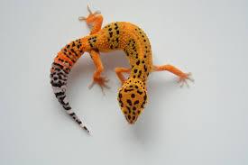 Halloween Pinstripe Crested Gecko by Blood Tangerine Jb Leopard Geckos Reptiles Amphibians