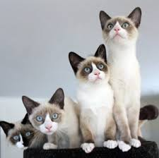snowshoe cat what is unique about the snowshoe cat cat breeds and types of cats