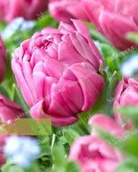 free shipping us mataram sakti pink 2 pcs tulip bulbs not seeds