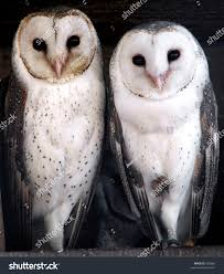 Three Cute Barn Owls Stock Photo 502666 - Shutterstock Barn Owl Looking Over Shoulder Perched On Old Fence Post Stock Eccles Dinosaur Park Carnivore Carnival The Salt Project Barn Moving Head Side To Slow Motion Video Footage 323 Best Owls Images Pinterest Owls Children And Free Images Wing White Night Animal Wildlife Beak Predator 189 Beautiful Birds Sat A Falconers Glove Photo Royalty Image Paris Owl 150 Pictures Snowy More