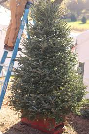Charlie Brown Christmas Tree Home Depot by When Cutting Down A Christmas Tree Almost Causes A Divorce