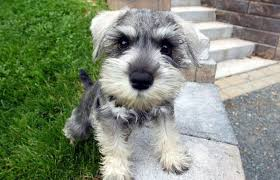 miniature dog breeds are they for you