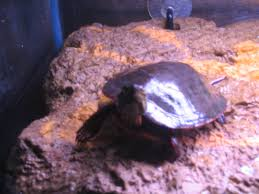 Snapping Turtle Shell Shedding by Turtle Shell Rot Help Monsterfishkeepers Com