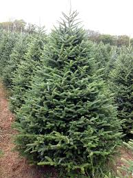 Popular Christmas Tree Species by Hill Farms Types Of Christmas Trees