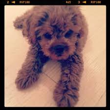 do cavapoos shed a lot cavapoo also known as cavadoodle or cavoodle dogs discovered