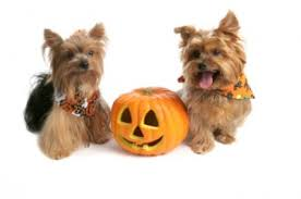 Pumpkin Puree For Dog Constipation by Barf Diet Puppy Tummy Ache Reach For Pumpkin Not Pepto