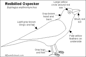 The Redbilled Oxpecker Is A Common Bird That Usually Found Perched On Large Mammals In Southern Africa It Perches Rhinos Giraffes Elephants