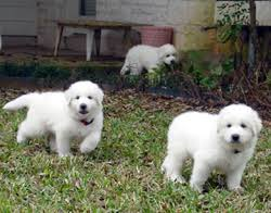 great pyrenees pictures information training grooming and puppies
