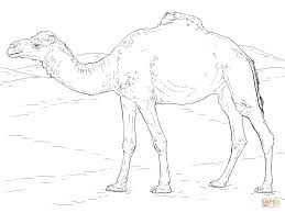Printable Camel Coloring Pages Medium Size Large