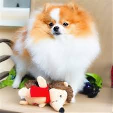 Do Bichon Pomeranians Shed by The Best Brushes And Grooming Tools For A Pomeranian