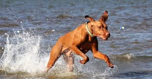 Vizsla Dog Breed Shedding by Smooth Vizsla Hungarian Pointer Breed Information And Images