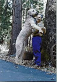 Irish Wolfhound Non Shedding by Image Detail For Irish Wolfhound Top 10 Largest Dog Breeds In The