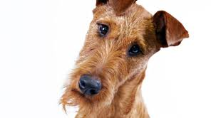 Do Irish Wheaten Terriers Shed by Irish Terrier Dog Breed Information American Kennel Club
