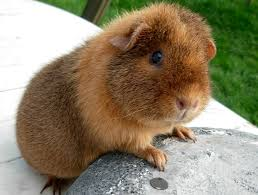 Can Guinea Pigs Eat Salted Pumpkin Seeds by Us Teddy Buff Agouti Guinea Pigs Pinterest Pig Stuff