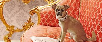 Why Do Puggles Shed So Much by The Good The Bad The Fluffy Best And Worst Dog Hybrids More Com
