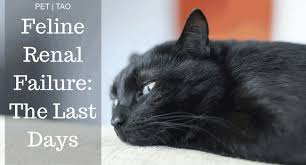 renal failure in cats navigating kidney failure in cats stages