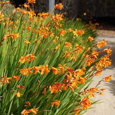 crocosmia bulbs for sale buy flower bulbs in bulk save