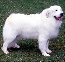 adopt a great pyrenees dog breeds petfinder